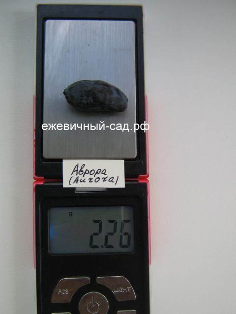 Вес жимолости Аврора (Aurora)