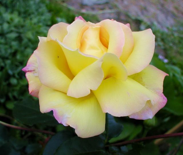 образом, сорт розы мадам мейланд фото наращивание