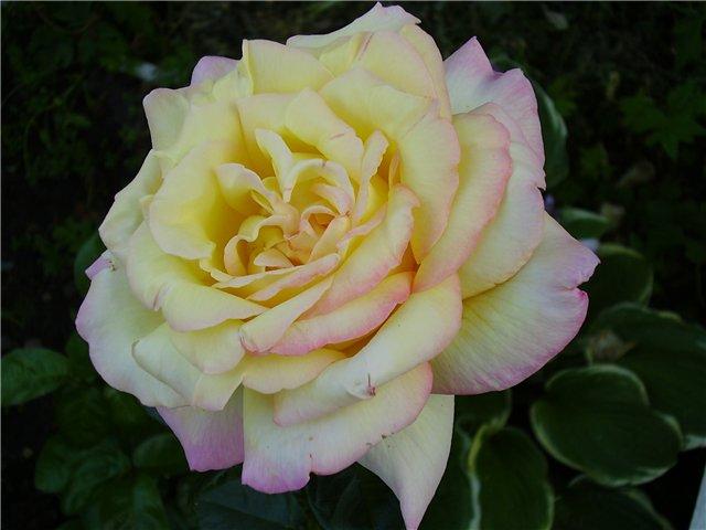 вот сорт розы мадам мейланд фото величество случай свёл